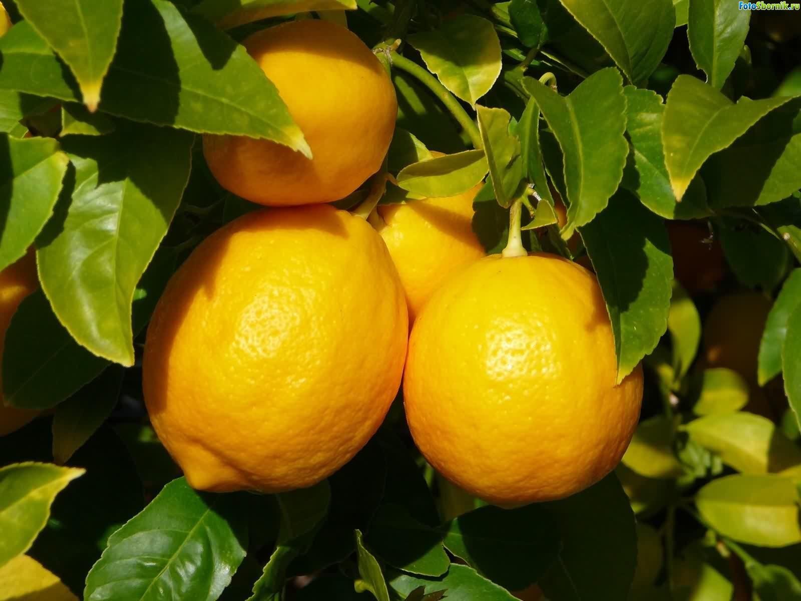 Советы по выращиванию лимона