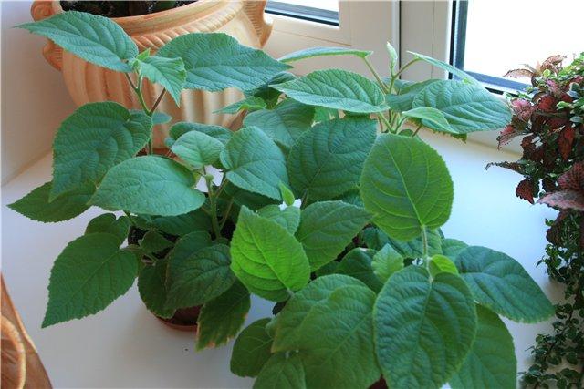 фото растение киви