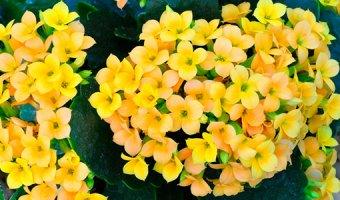 Каланхоэ – уход и выращивание в домашних условиях