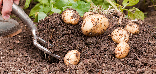 Картофель - посадка, уход, выращивание и сбор урожая картофеля