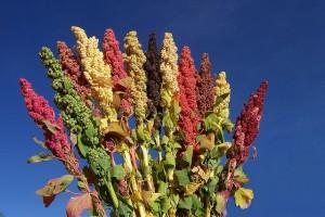 Растение киноа