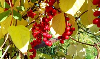 Китайский лимонник – польза и полезные свойства китайского лимонника