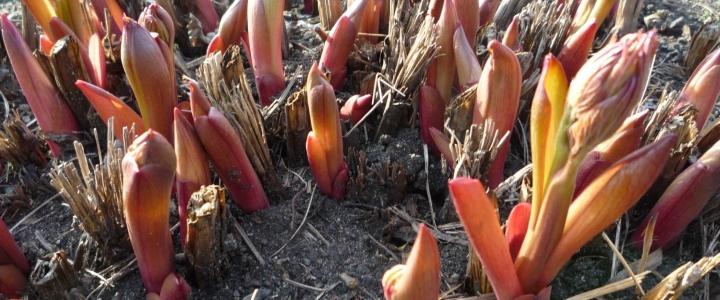обрезать пионы на зиму после цветения