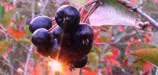 собирать черноплодную рябину