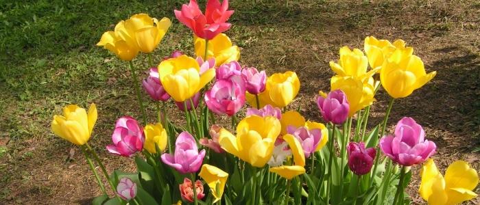 Как выкапывать тюльпаны после цветения