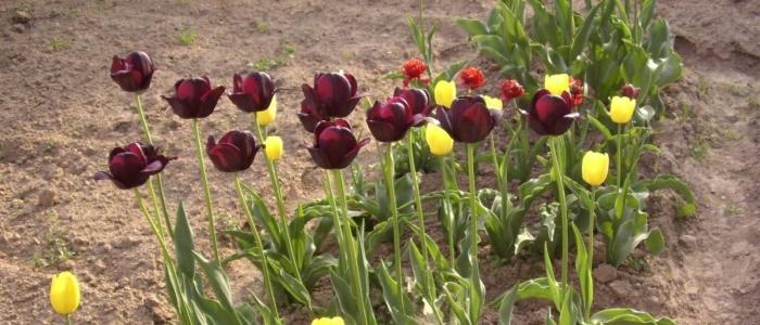 Зачем выкапывать тюльпаны после цветения