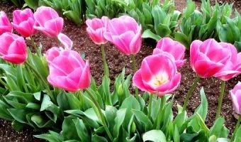 Выкапывание тюльпанов после цветения – когда и зачем это делать