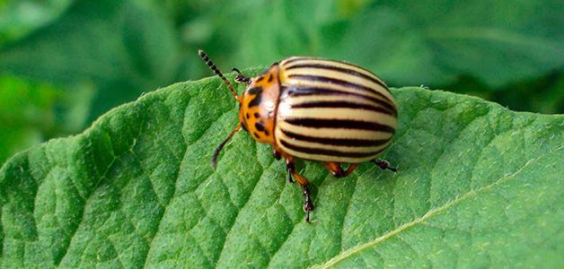 Вред колорадского жука для картофеля