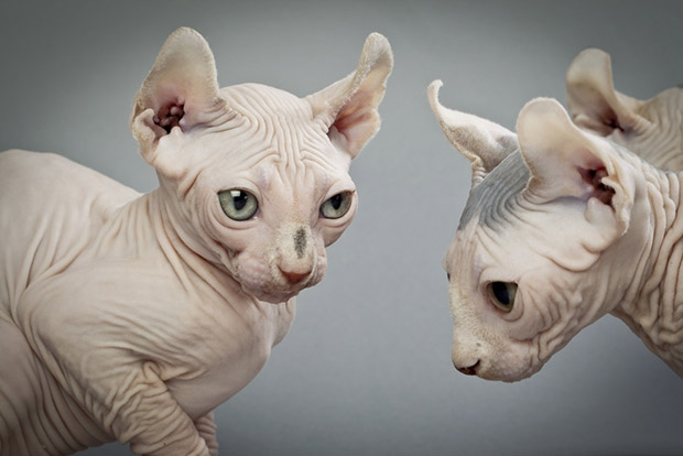 Кошка порода сфинкс петербургский фото