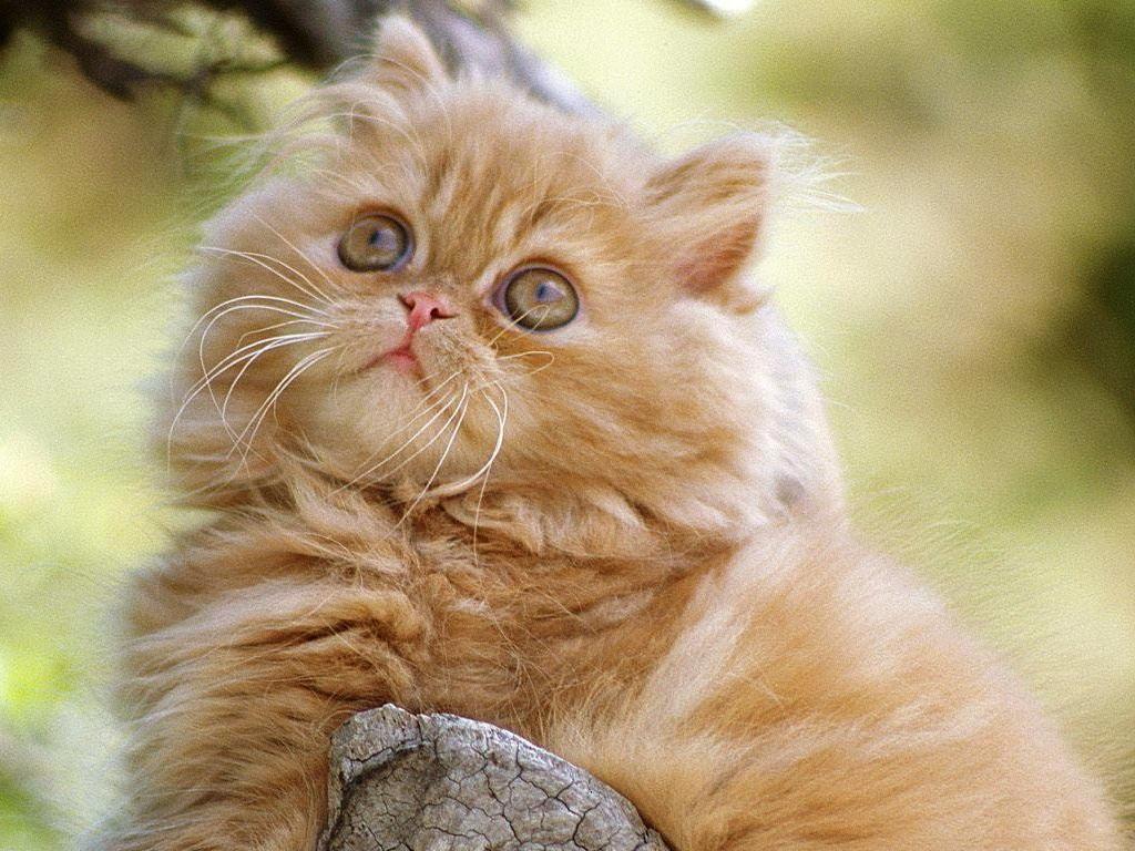 Уход за шерстью кошек