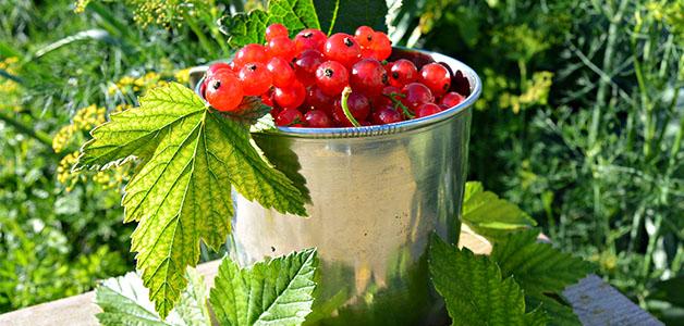 Полезные свойства красной смородины