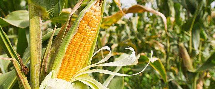 Выращивание кукурузы в ссср 88