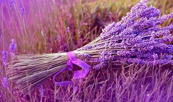 Лаванда – полезные свойства и применение