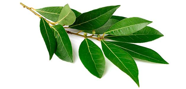 Лавровый лист – лечебные свойства, польза и вред