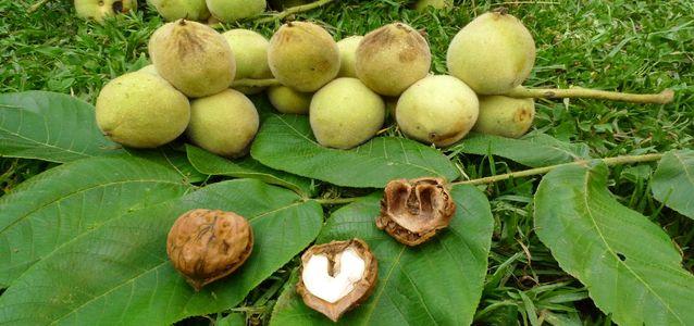 польза маньчжурского ореха
