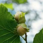 Лесные орехи – польза и полезные свойства лесного ореха