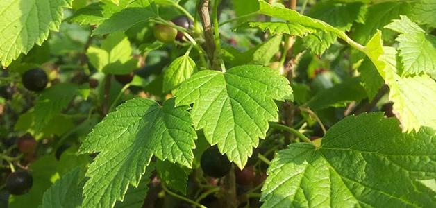 Как ферментировать листья смородины