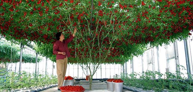 Сорта томатов для теплиц Подмосковья