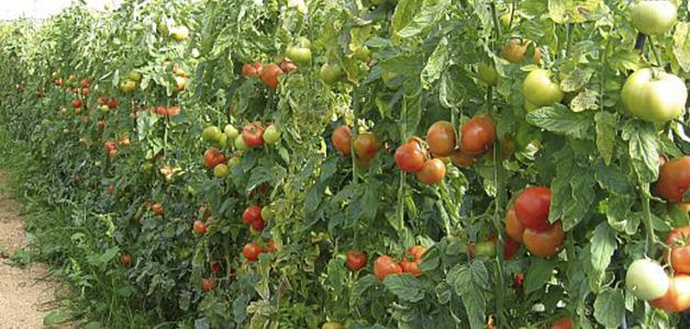 Лучшие сорта томатов для теплиц Урала