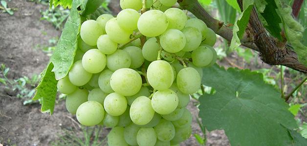 Описание лучших сортов винограда