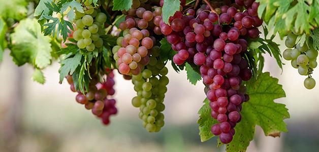 Лучшие сорта винограда в Украине