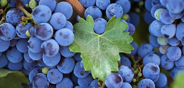 Лучшие сорта винограда в Ростовской области