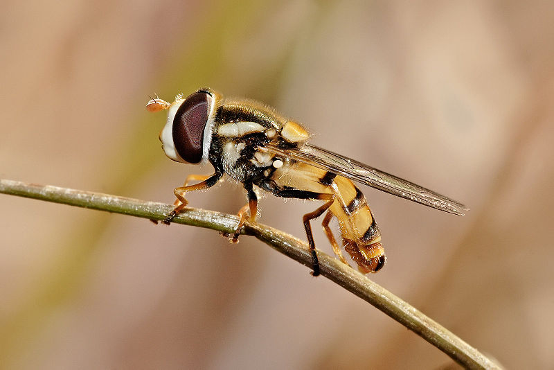 Керосин и луковая муха