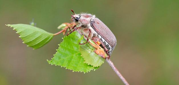 Ловля майского жука