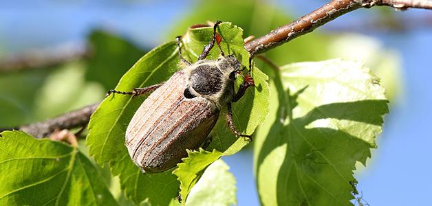 Майский жук: как бороться с вредителем