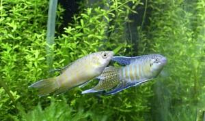 Неприхотливые рыьки для аквариума