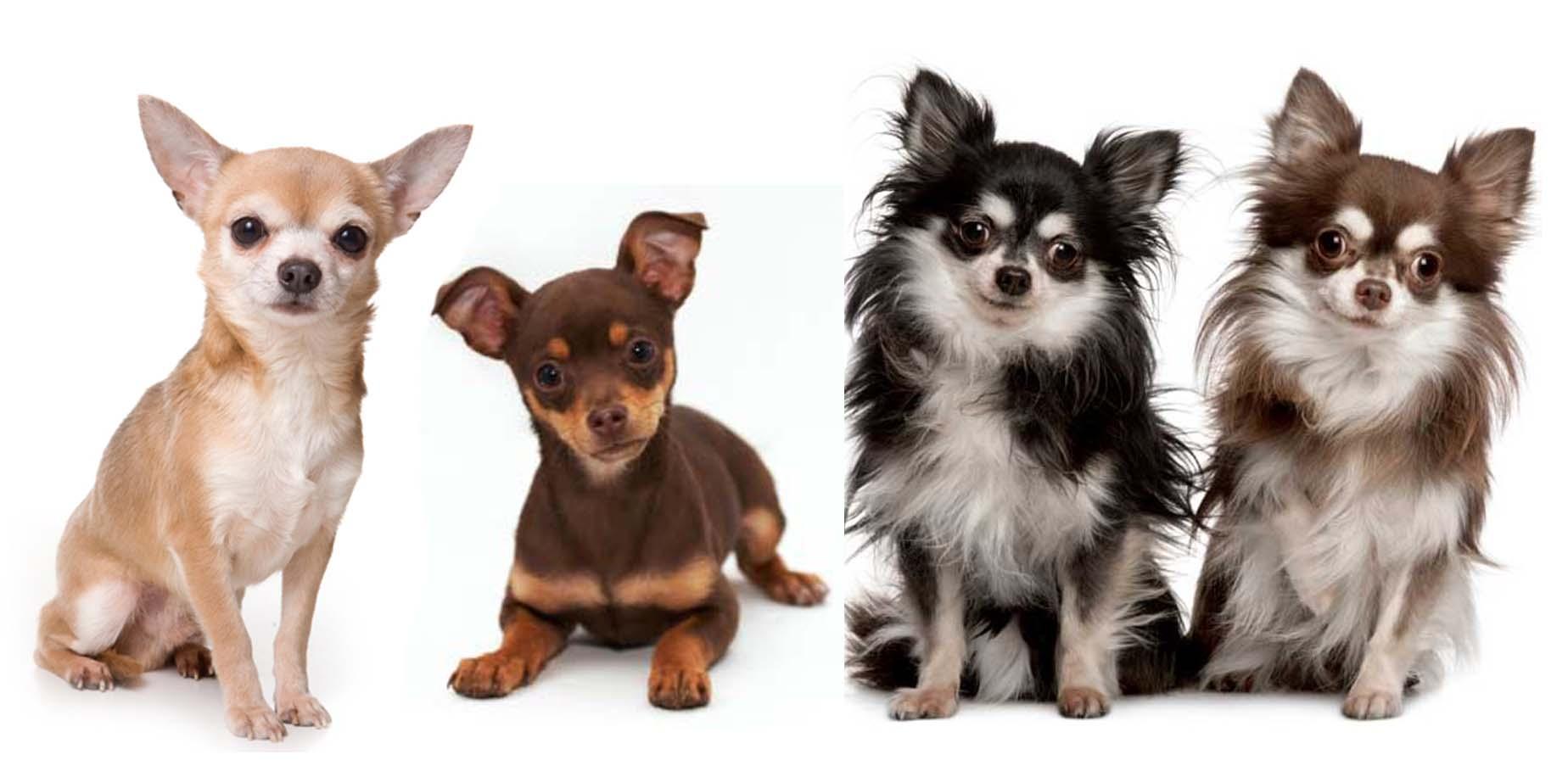 самые маленькие собачки фото и название