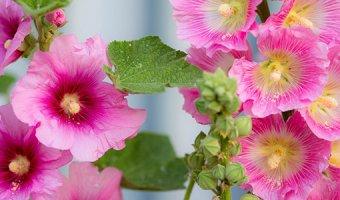 Мальва многолетняя – посадка и выращивание