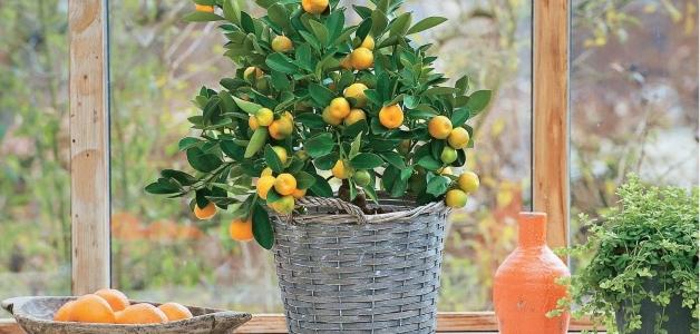 вырастить мандарин из косточки