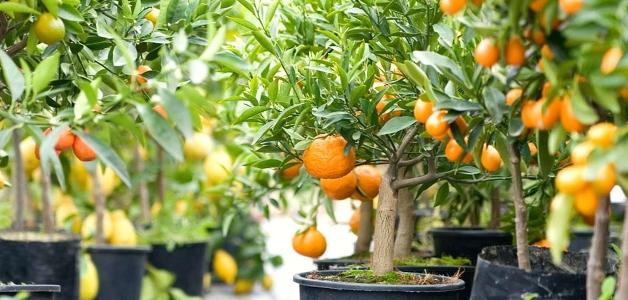 посадить мандарин из косточки