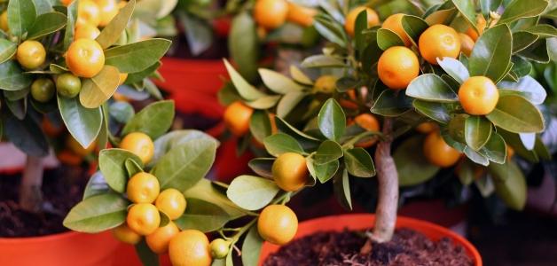 плодоносящий мандарин из косточки