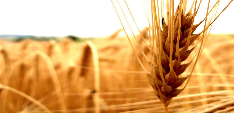 Польза масла из зародышей пшеницы