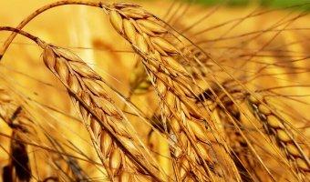 Масло зародышей пшеницы – применение и противопоказания