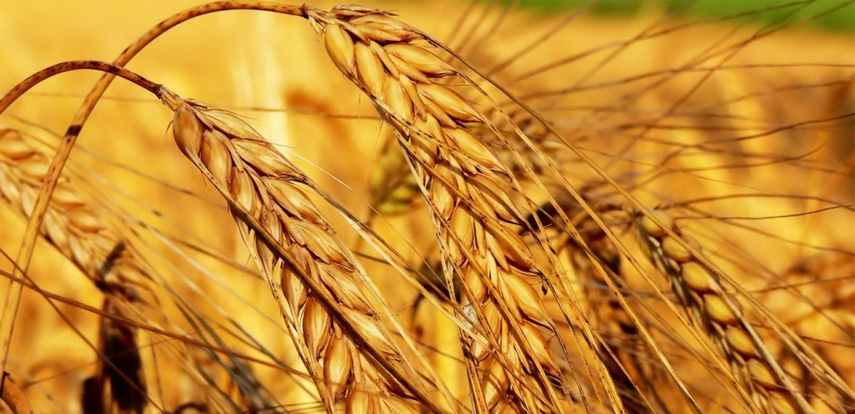 Где используется масло зародышей пшеницы
