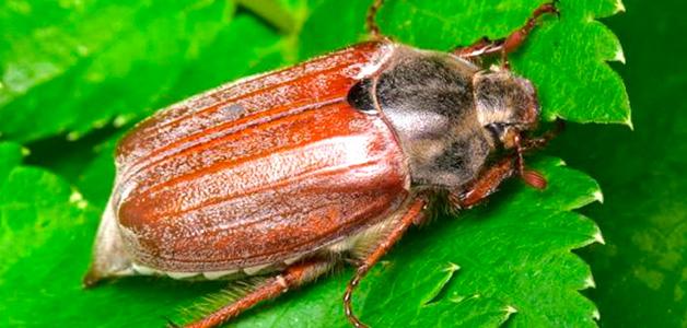 Личинка медведки и майского жука отличие