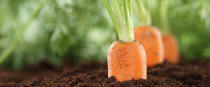Как сажать морковь под зиму