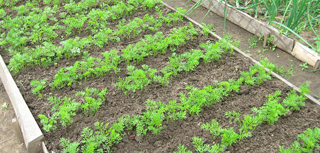 Подготовка семян моркови
