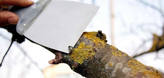 Как убрать мох на яблоне