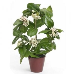 растение хойя