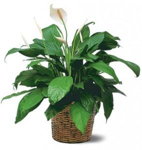 растение спатифилум