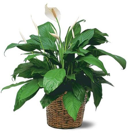 Стайни растения  strelitziabgcom