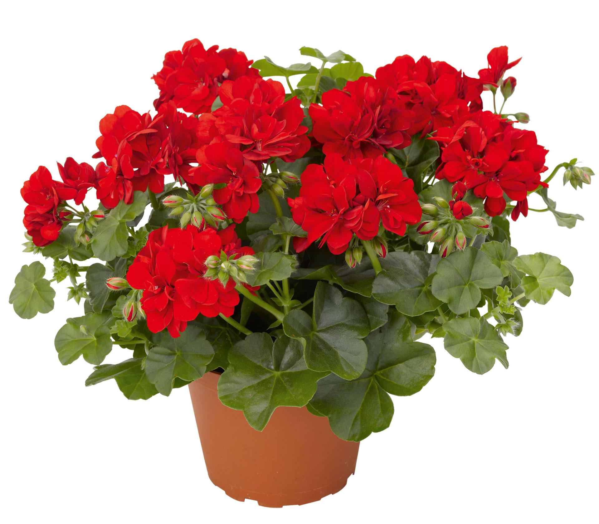Не требующие особого ухода домашние цветы