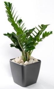 растение замиокулькас