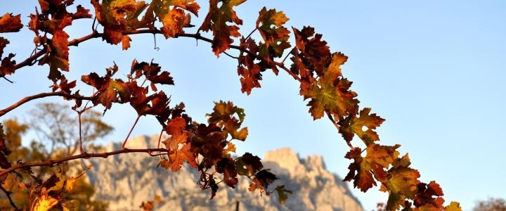 обрезать виноград осенью, чтобы был хороший урожай