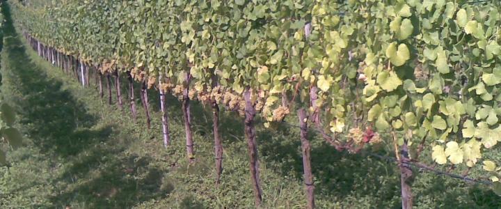 обрезать молодой виноград осенью