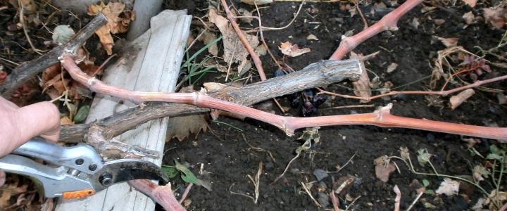 обрезать старый виноград осенью